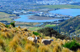 sheep with landscape